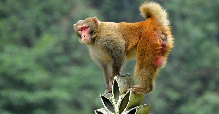 Macaco trepa no topo de uma construção na Villa Shiziguan, condado de Xuan'en, na província de Hubei na China