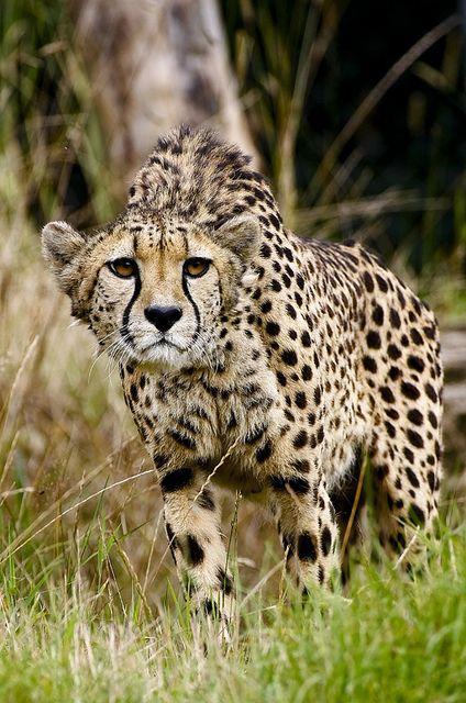Stichting SPOTS zet zich in voor de cheetah. Help jij mee? www.stichtingspots.nl (Foto: Mike Seamons)