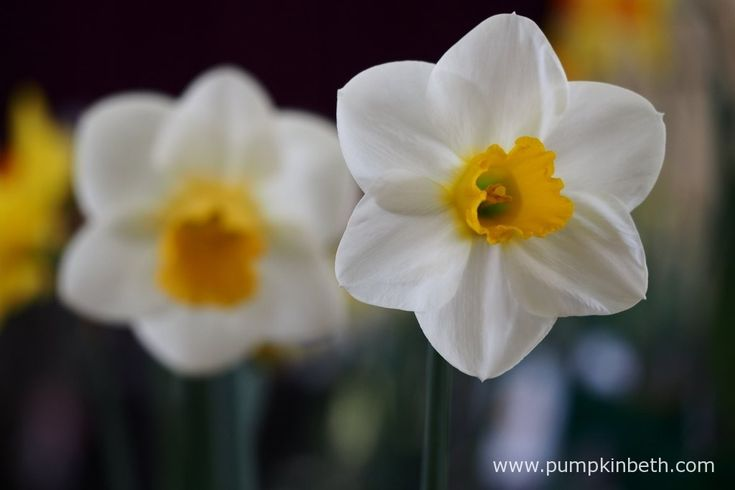 For many of us daffodils symbolise hope and new beginnings, they are the epitome of springtime.