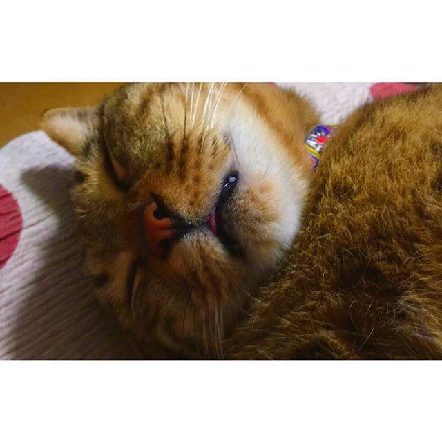 .ᗦ↞◃ こびたんこびたん ベロしまい忘れて 寝ちゃってるよ?😛💕💬笑 . #にゃんこ #ねこ #猫 #天使 #愛猫 #激愛 #幸せ #爆睡 #べー #肉球 #ぷにぷに #イケメン ♂ #고양이 #귀여워 #ㅅㄹㅎ #행복 #안녕 #🐱 #cat #love #cute #angel #pet  #catstagram  #photo #happiness #instagood #instalike  #にゃんすたぐらむ #にゃんだふるらいふ .ᗦ↞◃