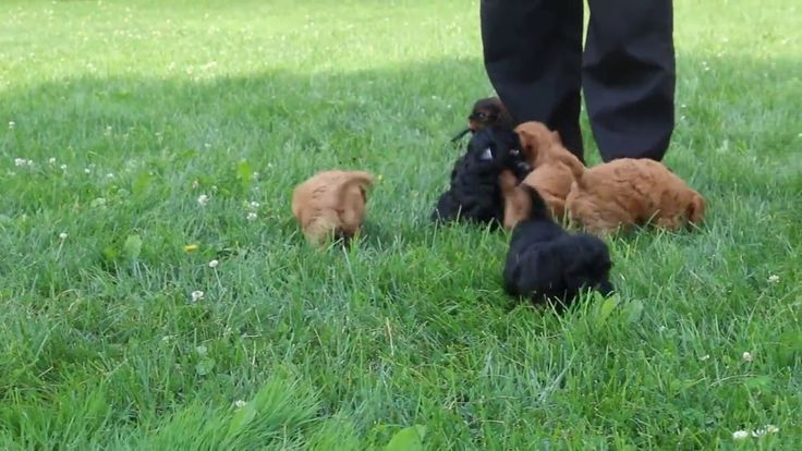 Cavapoo Puppies For Sale Amos Stoltzfus