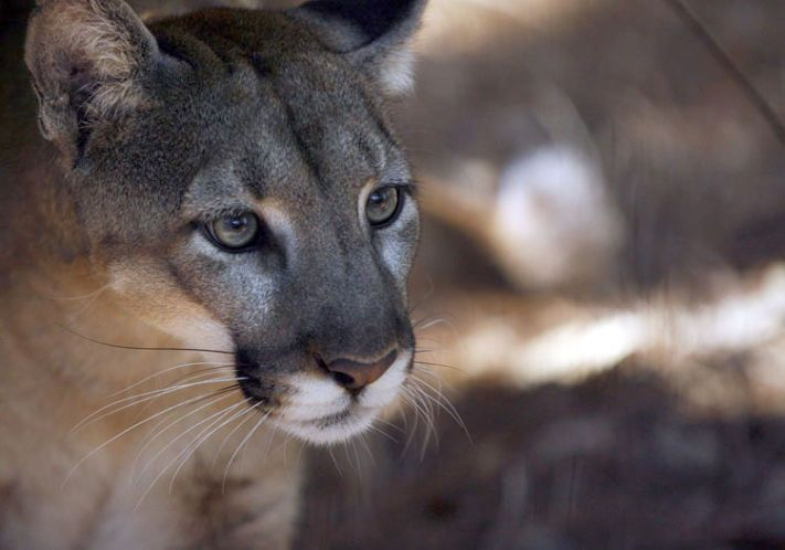 Federal officials want to hear from the public about whether to permit a plan to allow oil drilling, mining and development in Florida's panther habitat — and to allow the killing of some panthers — in exchange for a promise to preserve some of that land.