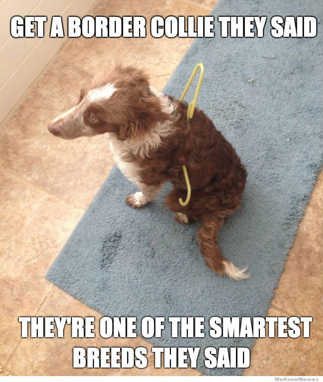 get a border collie they said... LOL meme funny dog