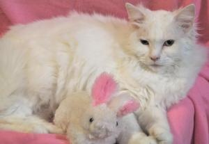 Diva is an adoptable Domestic Long Hair-White Cat in Laingsburg, MI. As you can see, Diva is a gorgeous, long-haired white cat. Notice she has one beautiful green eye and one beautiful blue eye (she i...