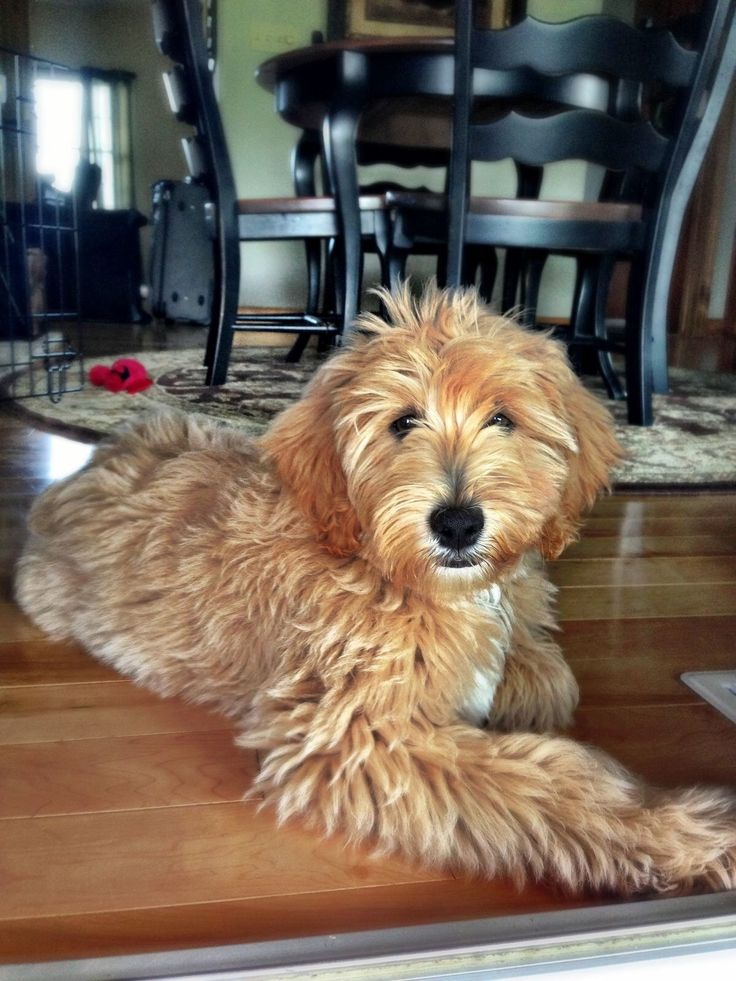 "Grooming example of a ""puppy cut"" goldendoodle haircut."