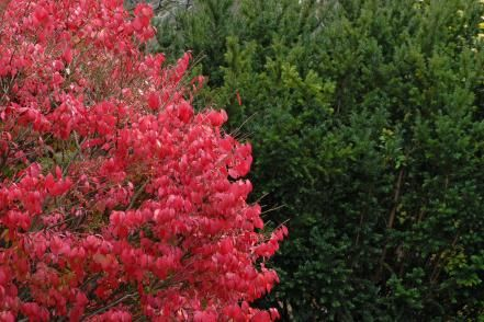 Need a shrub? Check out these tough-as-nails beauties. Burning bush.