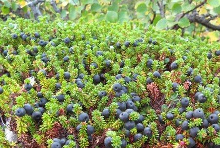 Things to do in Iceland - August and September - pick berries!   Photo by Berjavinir
