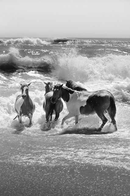 Assateague Horses by Marleymax on Flickr