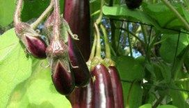 Eggplant - Planting, Growing and Harvesting.