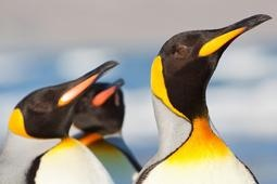 Guest on IE's 2013 Patagonia tour will get a rare opportunity to visit the world's most accessible colony of King Penguins!
