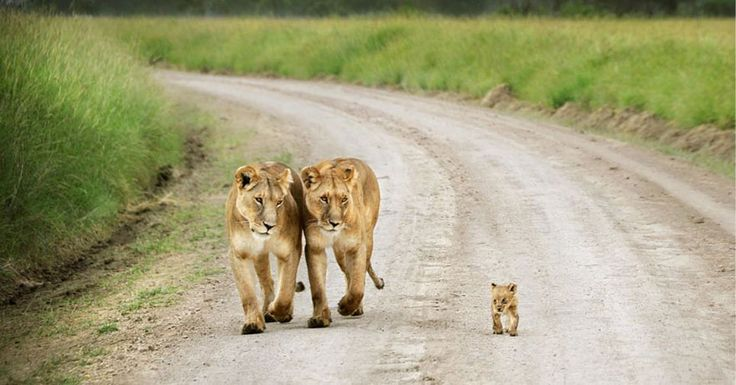 AMAZING: 25 Wonderful Parenting Moments in the Animal World That Went Viral... The interesting bit is that both the big loins are female... Lesbian mothers? I JS