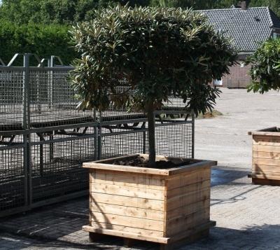 Ein Rhododendron Baum! Im Holzkübel wirkt dieser Rhododendron Stamm besonders eindrucksvoll!