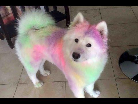 16 imagens de cães da raça Samoieda que vão fazer você querer apertá-los - YouTube