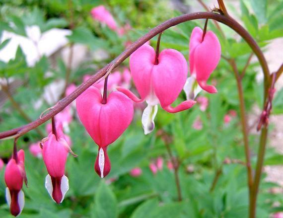 1 Calsic Pink Bleeding Heart Bush Bare Root Shade Woodland Garden Winter Hardy Perennial Spring P Shade Loving Perennials Bleeding Heart Flower Bleeding Heart