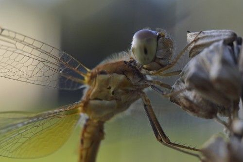 Dragonfly Smiling by Tomislav Vucic