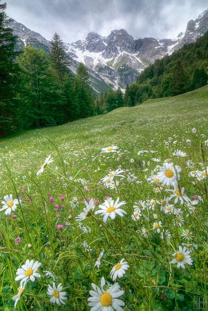 Wild daisies on alpine meadow, Bludenz, Austria