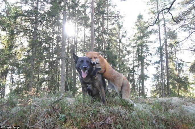le chien et le renard jouent rox et rouky en vrai 6   Le chien et le renard ou Rox et Rouky pour de vrai   Torgeir Berge renard photo image ...