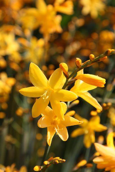 Buy montbretia bulbs Crocosmia × crocosmiiflora 'George Davison': Delivery by Crocus.co.uk