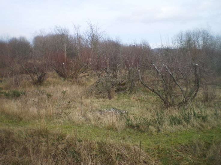 An area of Foxglove Nature reserve which has been pollarded.  Foxglove Covert, Catterick Garrison, North Yorkshire UK Jan 2015.