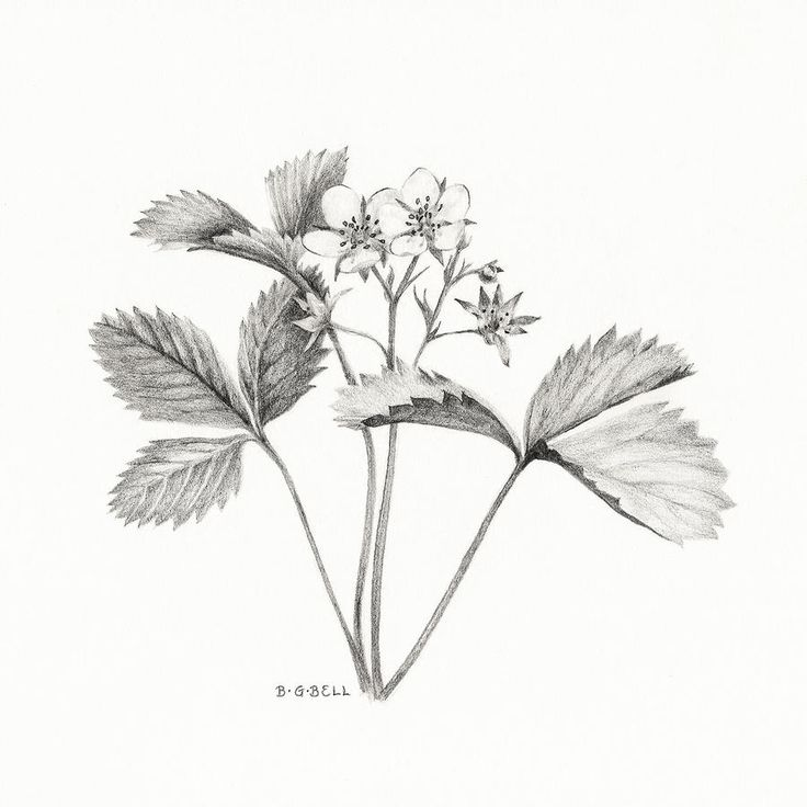 Wild strawberry drawing Betsy Gray Bell