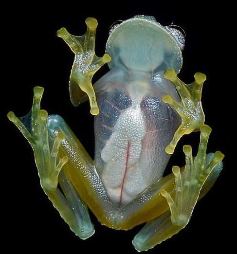 Glass frogs are small frogs of the family Centrolenidae While the general background coloration of most of them is lime green, the abdominal skin of some members of the family is translucent. As a result, several organs including the heart, liver, and gastrointestinal tract, are visible through their skin, earning them the glassfrog nickname.   Read more: http://www.strangeanimals.info/2015/04/10-weirdest-transparent-animals.html#ixzz4XdzfYY7R