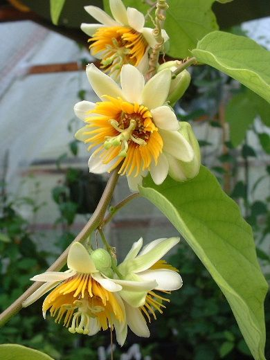 "Passiflora holosericea 4"" pot   Grassy Knoll Plants"