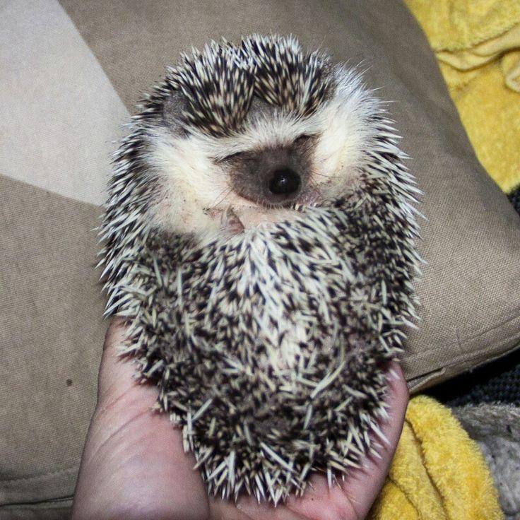 #hedgehog #hedgie #smiling