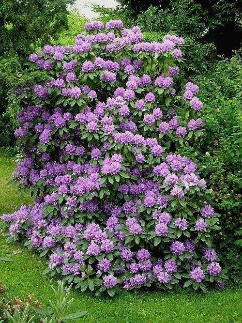 Magical Rhododendron Tree ธรรมชาติสวยงามและยิ่งใหญ่