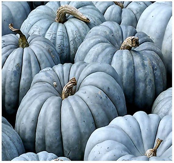 Jarrahdale Blue Pumpkin Cucurbita maxima by ALLooABOUTooSEEDS