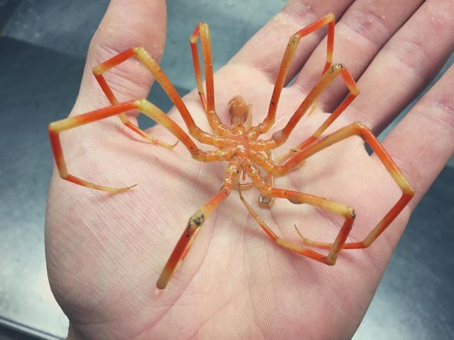 Морской #паук. Надеюсь не ядовитый:)