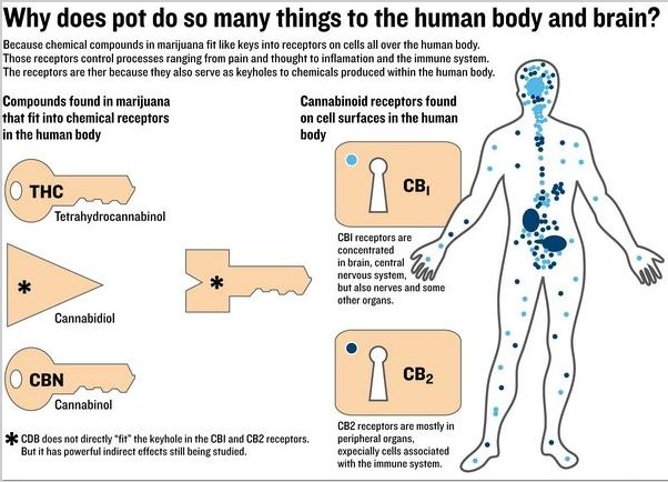 An Introduction To The Endocannabinoid System
