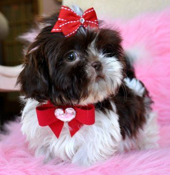 Imperial Shihtzu PuppyChocolate and White PrincessSOLD Found Wonderful New Mommy!