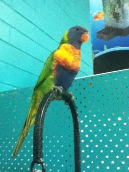 Hand Tamed Rainbow #lorikeet  This colorful character will have you entertained all day.