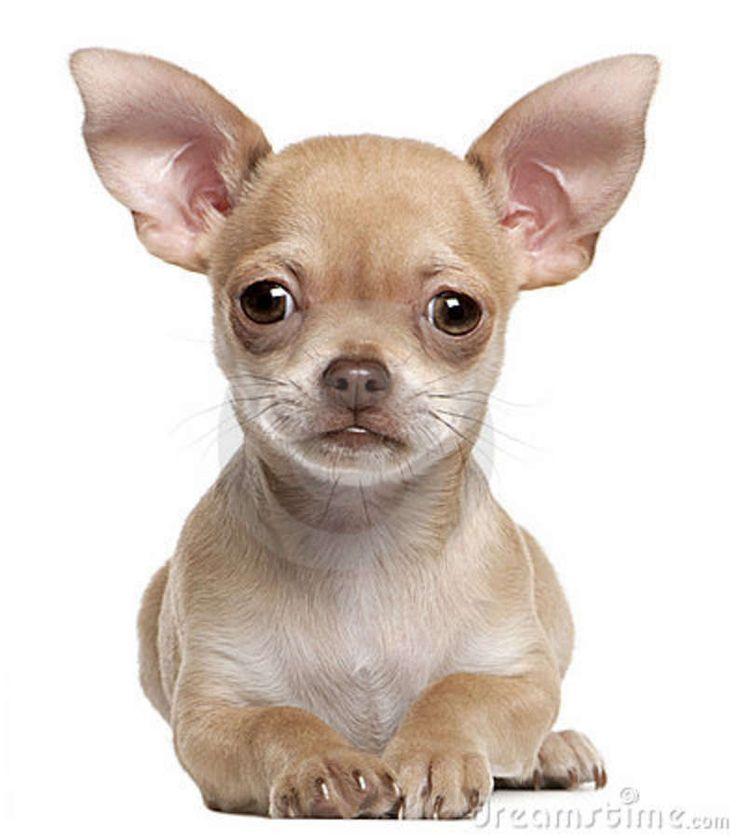 chiwawa puppies | Het puppy van Chihuahua, 2 maanden oud, die voor witte achtergrond ...