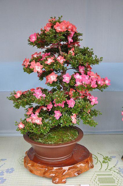 Dsc 0026 flickr photo sharing bonsai azalea for Azalea bonsai