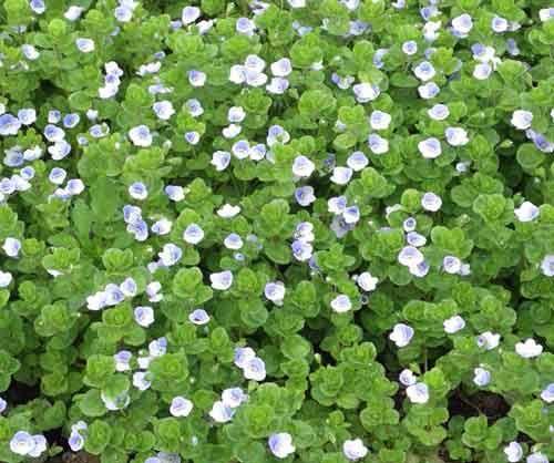 Вероника нитевидная. Распространена в Европе на горных лугах. Голубоватые цветки поднимаются на высоких ножках. Имеются формы с белоснежными и голубыми цветками. Цвести начинает в апреле. Стебли, касаясь земли, пускают корни, поэтому возникают светло-зеленые ковры.Вероника нитевидная неприхотлива, и даже агрессивна. Зимостойка, но в суровые зимы может вымерзать, потом быстро восстанавливается. Очень эффектна на бедных почвах в полутени. Эта вероника пригодна для закрепления склонов.