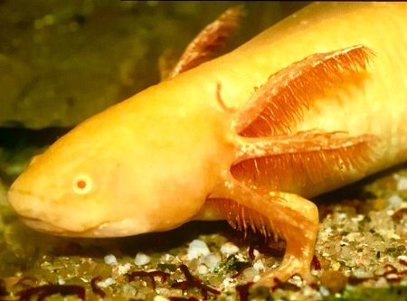 46 best images about awesome axolotils on pinterest for Skin it fish skinner