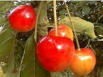 Prunus cerasus Bigarreau Napoléon