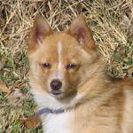 Chi-Corgi - Chihuahua and Pembroke Welch Corgi Mix Pictures and Information