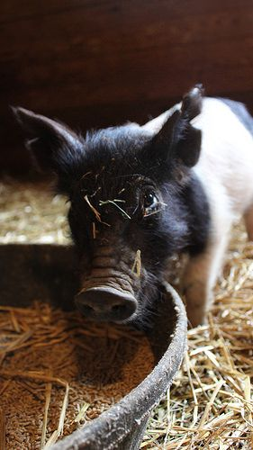 Hampshire Piglet | by Shutterfool