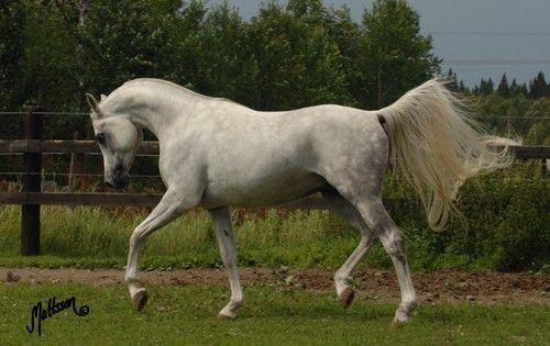 Authentic Shaji ARABIAN HORSES