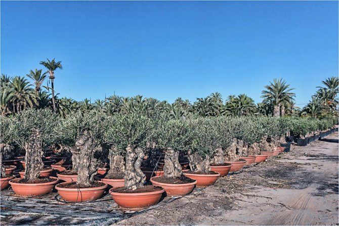Mini Bonsai in Terracotta Container - Olive trees for sale in Spain - www.PalmFarm.es