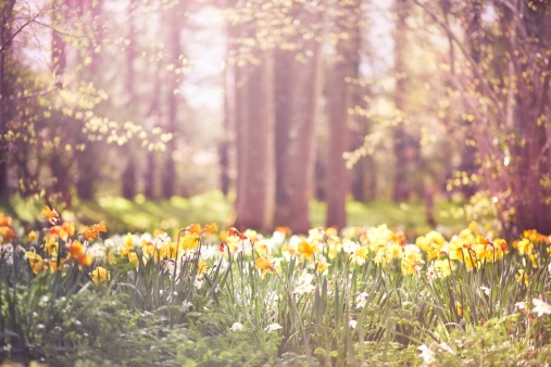 Woodland filled of yellow and orange daffodils in spring, Dorset.: Beautiful Natural, Spring Flowers, Springtim Photographers, Spring Photography, Landscape Photography, Orange Daffodils, Flowers Ideas, 30 Springtim, Photography Inspiration