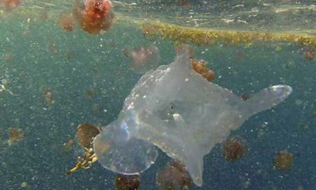 NEW DISCOVERY: An example of the Keesingia gigas jellyfish
