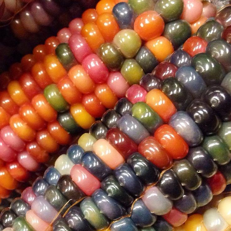 Glass Gem corn 遺伝子組み換えなし?!世界で一番美しい「虹色のトウモロコシ」の物語が素敵!