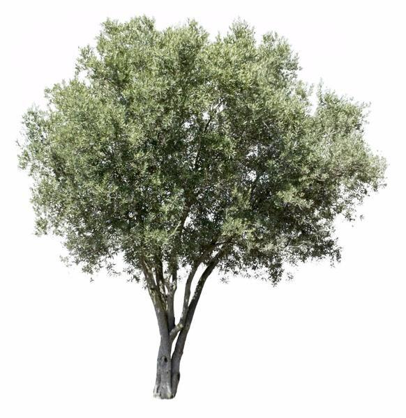 Olea Europaea V Tree Photoshop Landscape Tree Render