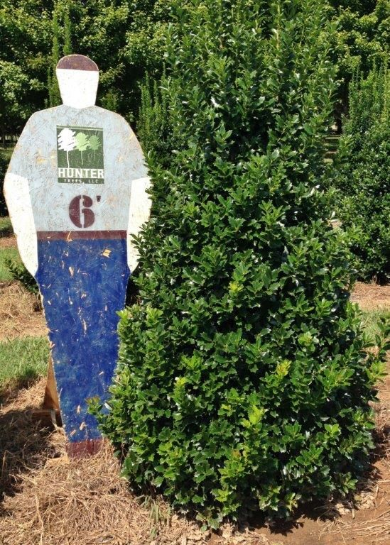 We have 6 39 oakland holly available now this is a fast for Small sized evergreen trees