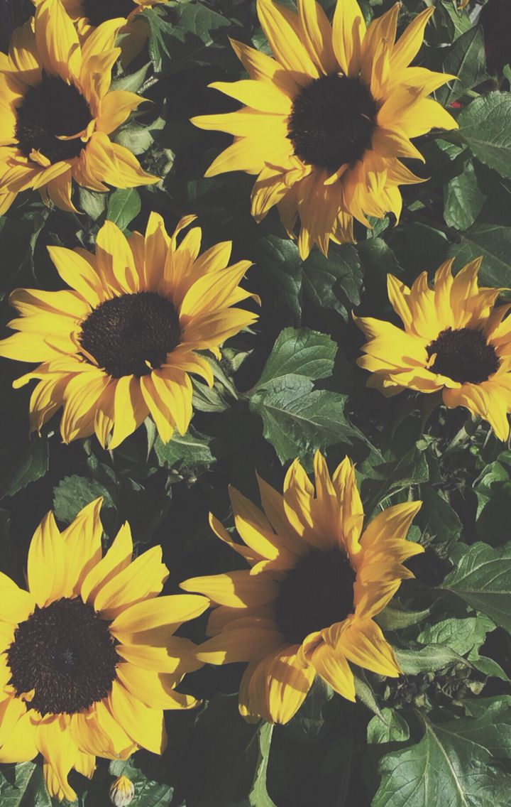 Pinterest anniehallw ☻ Sunflower wallpaper, Sunflowers