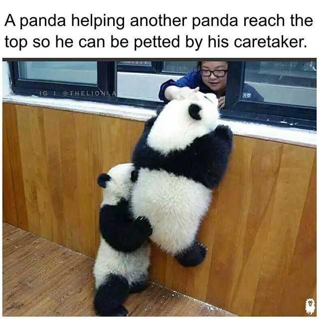 Imgur Com Panda Bear Cute Animals Panda Funny