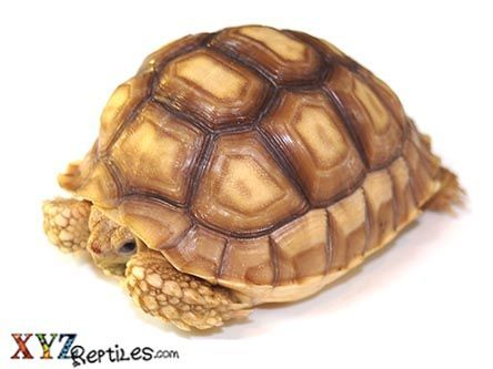 Sulcata Tortoise For Sale - xyzReptiles